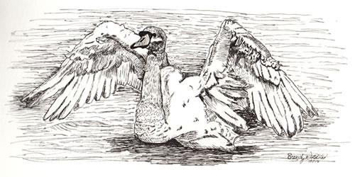 Trumpeter Swan Pen Drawing